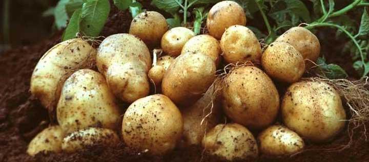 आलू की बंपर फसल पैदावार और दाम में 30 प्रतिशत तक इजाफे से किसान खुशहाल