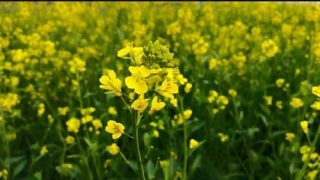 Mustard Price Latest Breaking News