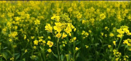 Mustard Price: सरसों की बढ़ती कीमतों के कारण मंडियों में घट रही आवक, ये है कारण